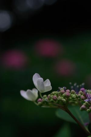 紫陽花(太閤山ランド)_e0126642_713189.jpg