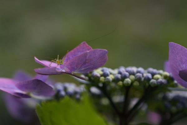 紫陽花(太閤山ランド)_e0126642_7133484.jpg