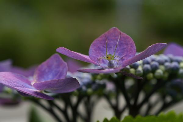 紫陽花(太閤山ランド)_e0126642_7135061.jpg