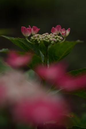 紫陽花(太閤山ランド)_e0126642_713598.jpg
