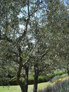 11月はオリーブの収穫です♪_f0106597_17125761.jpg