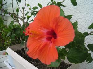 赤いハイビスカスの花のアップ画像。