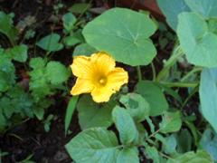 オクラとカボチャの種の収穫_c0110869_11103050.jpg