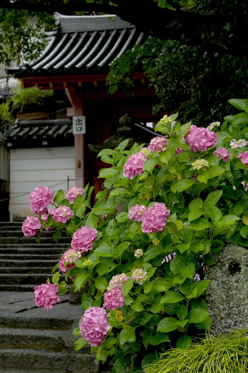 奈良 矢田寺 <紫陽花> 雨 2_f0021869_18222613.jpg