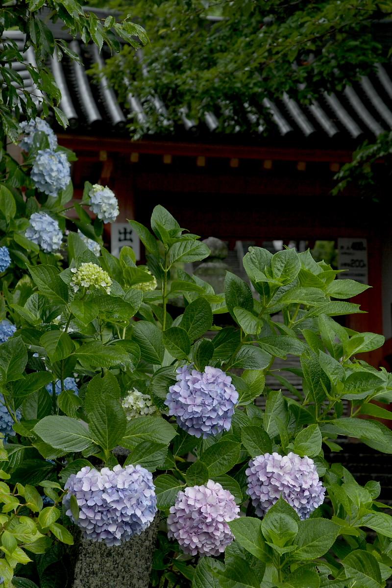 奈良 矢田寺 <紫陽花> 雨 2_f0021869_1822720.jpg