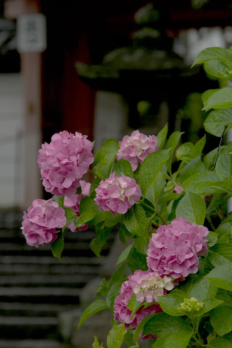 奈良 矢田寺 <紫陽花> 雨 2_f0021869_18243274.jpg