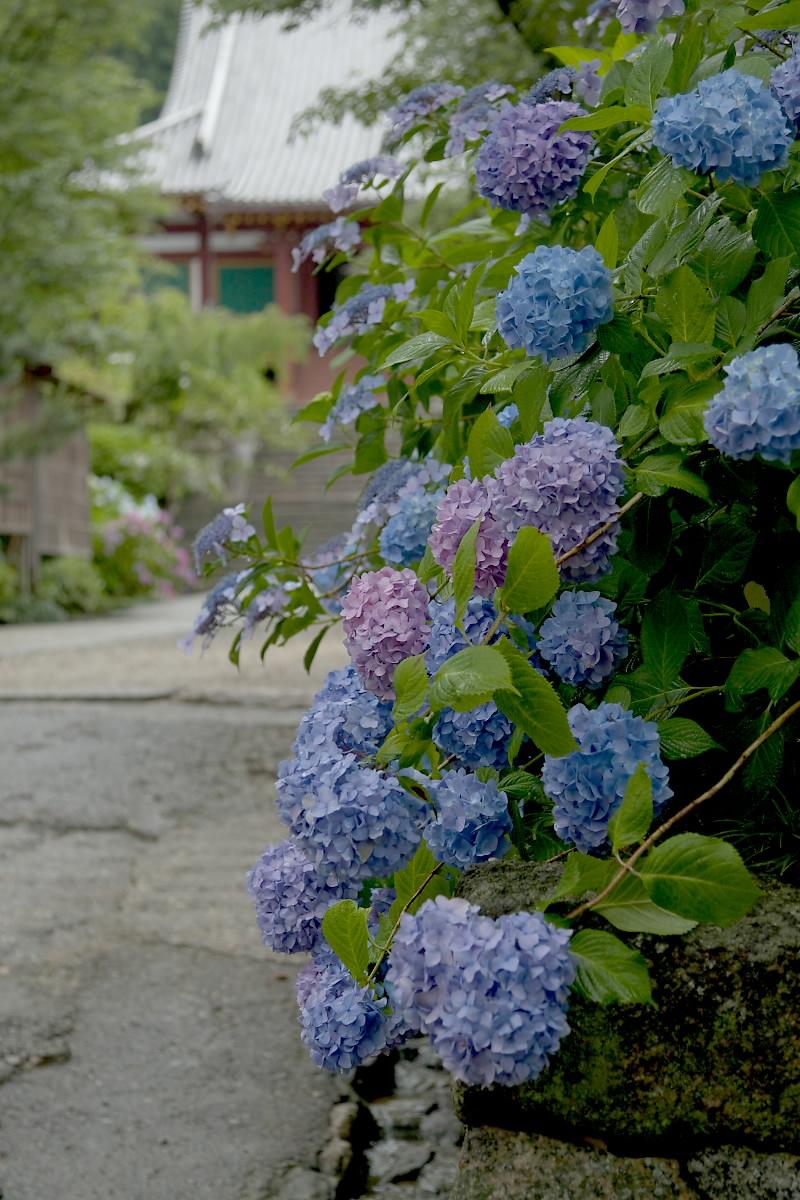 奈良 矢田寺 <紫陽花> 雨 2_f0021869_18265269.jpg