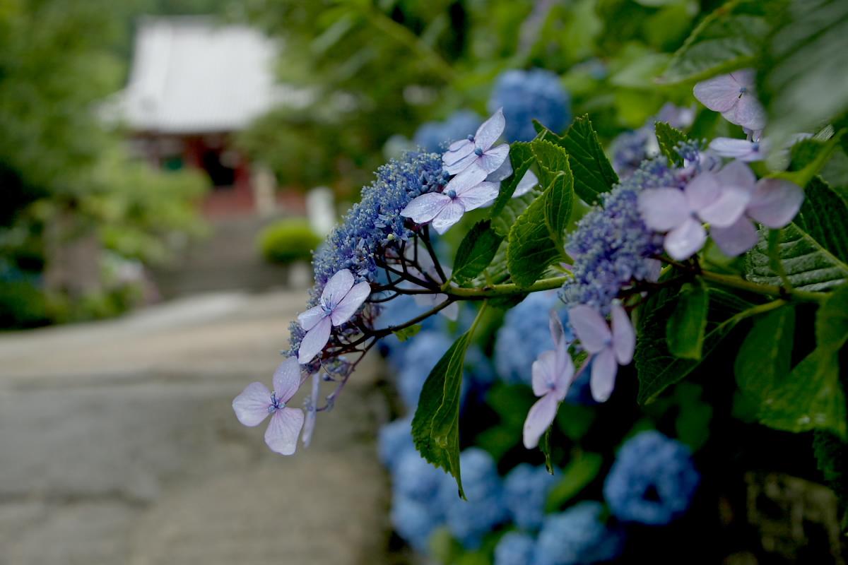 奈良 矢田寺 <紫陽花> 雨 2_f0021869_18282569.jpg