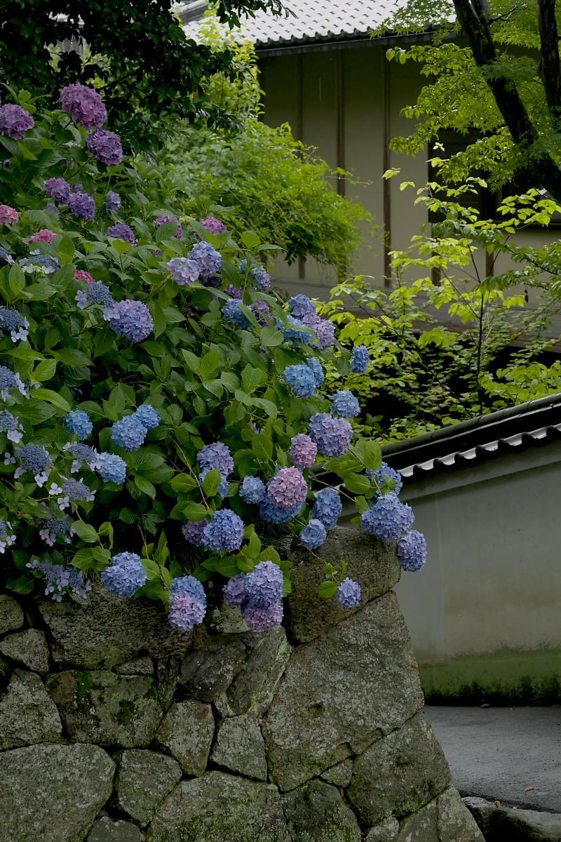 奈良 矢田寺 <紫陽花> 雨 3_f0021869_18402339.jpg