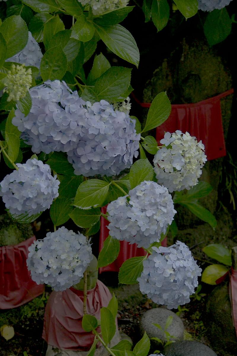 奈良 矢田寺 <紫陽花> 雨 3_f0021869_1840469.jpg