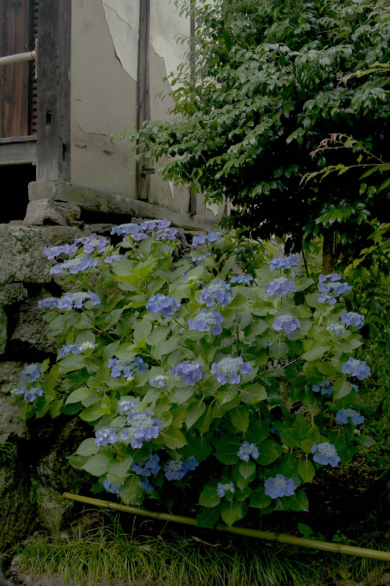 奈良 矢田寺 <紫陽花> 雨 3_f0021869_1842411.jpg