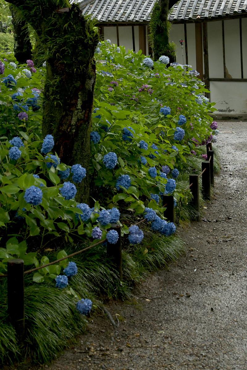 奈良 矢田寺 <紫陽花> 雨 5_f0021869_19461213.jpg
