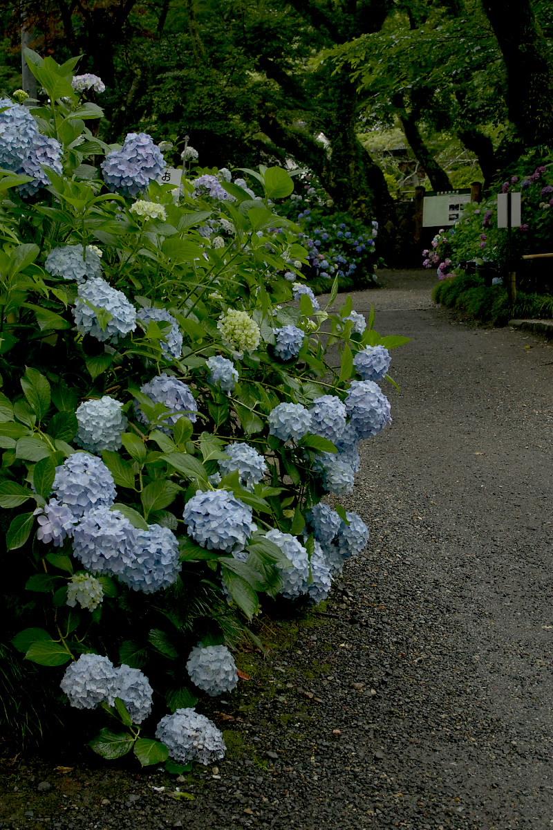 奈良 矢田寺 <紫陽花> 雨 5_f0021869_19463462.jpg