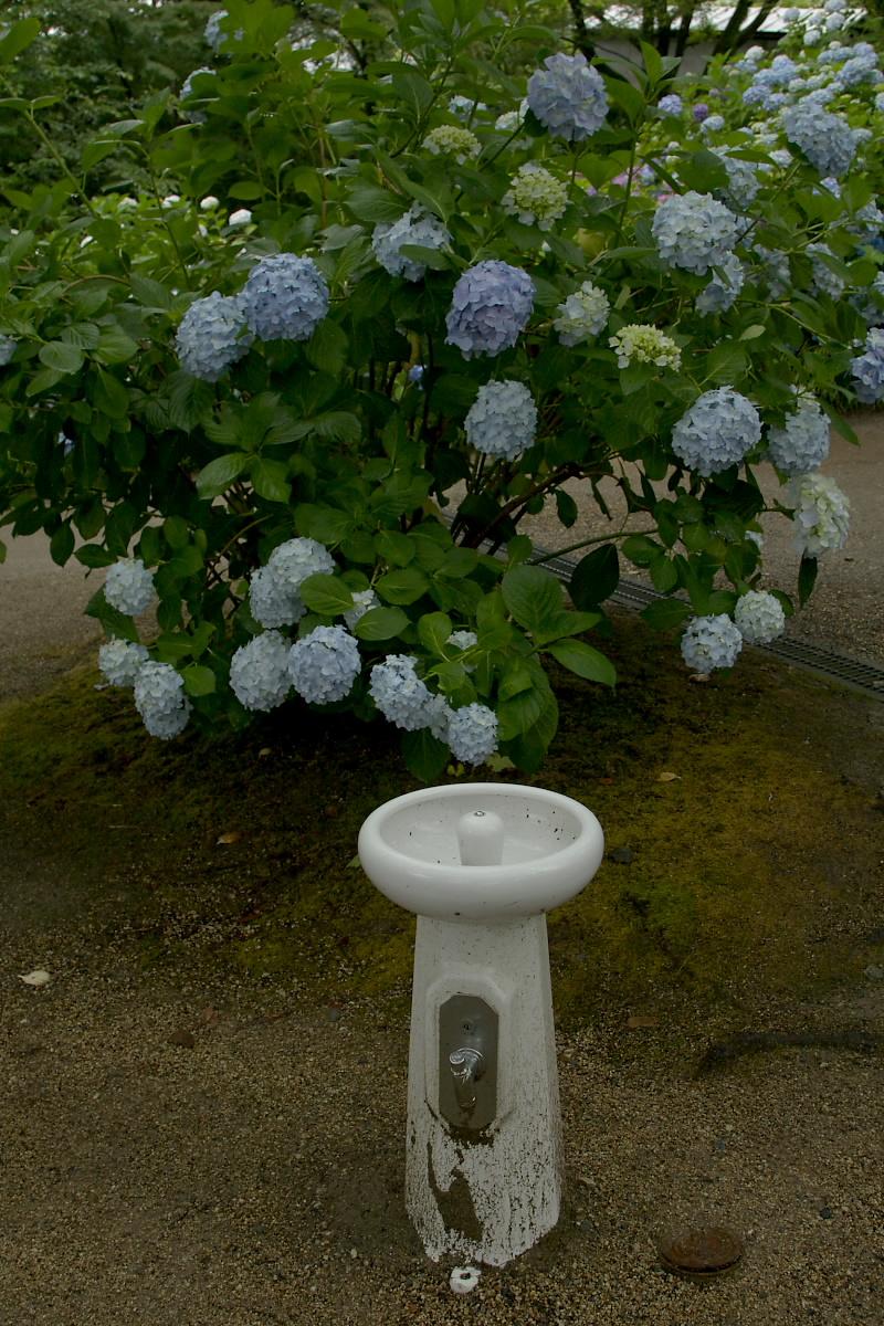 奈良 矢田寺 <紫陽花> 雨 5_f0021869_19474336.jpg