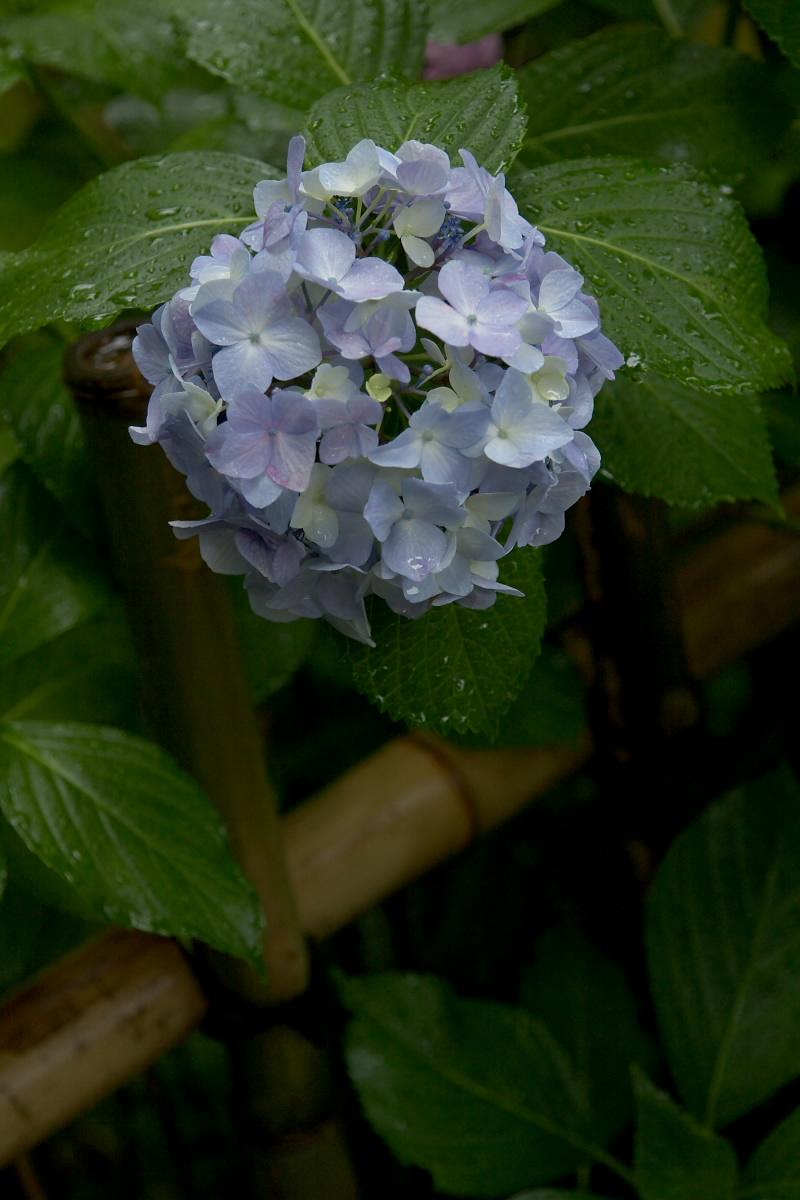 奈良 矢田寺 <紫陽花> 雨 5_f0021869_19501944.jpg