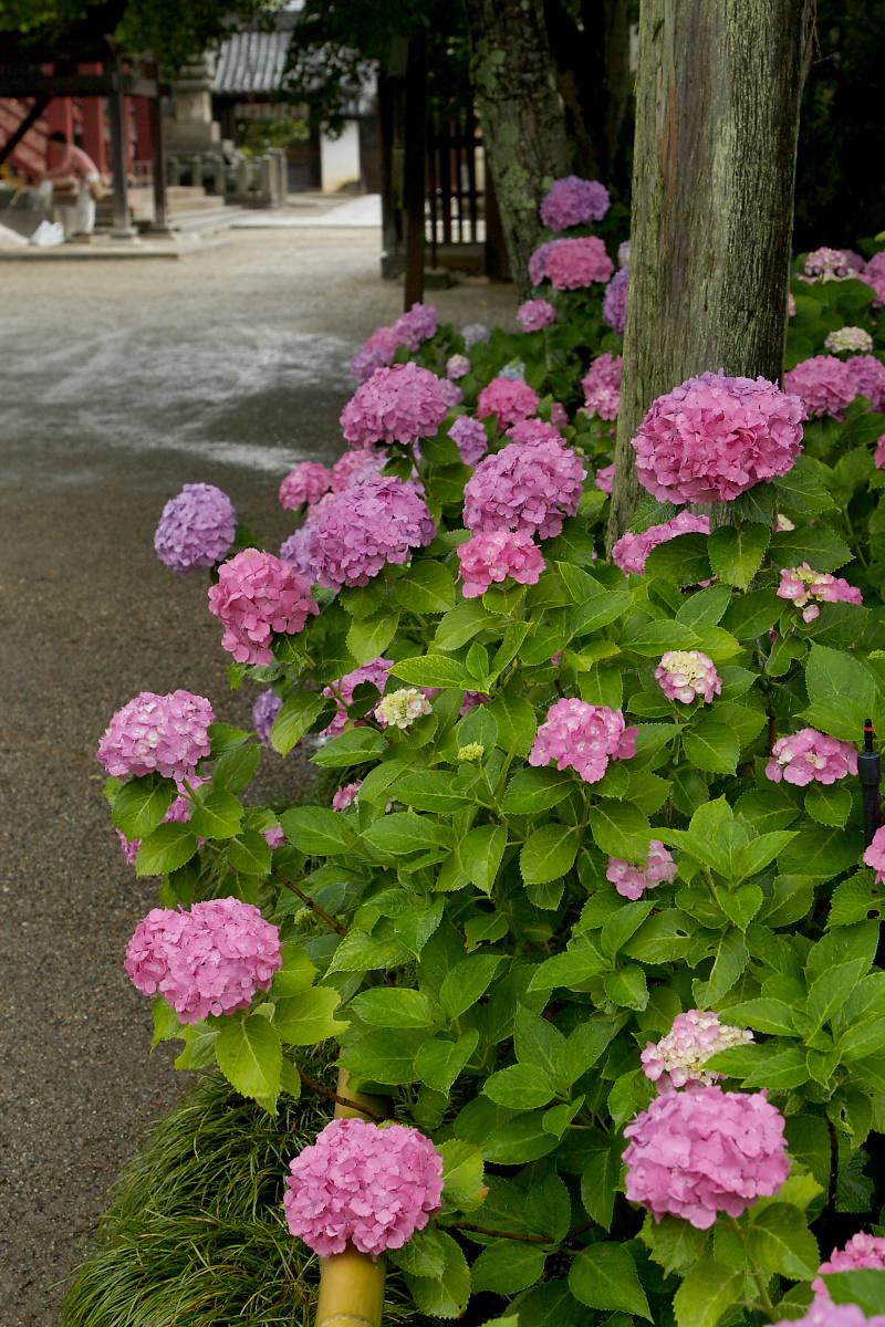 奈良 矢田寺 <紫陽花> 雨 5_f0021869_19512621.jpg