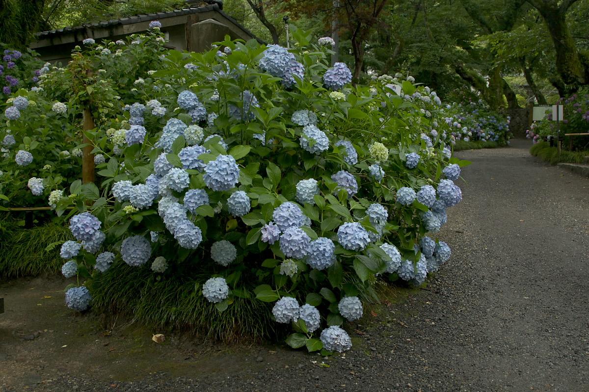 奈良 矢田寺 <紫陽花> 雨 5_f0021869_19525853.jpg