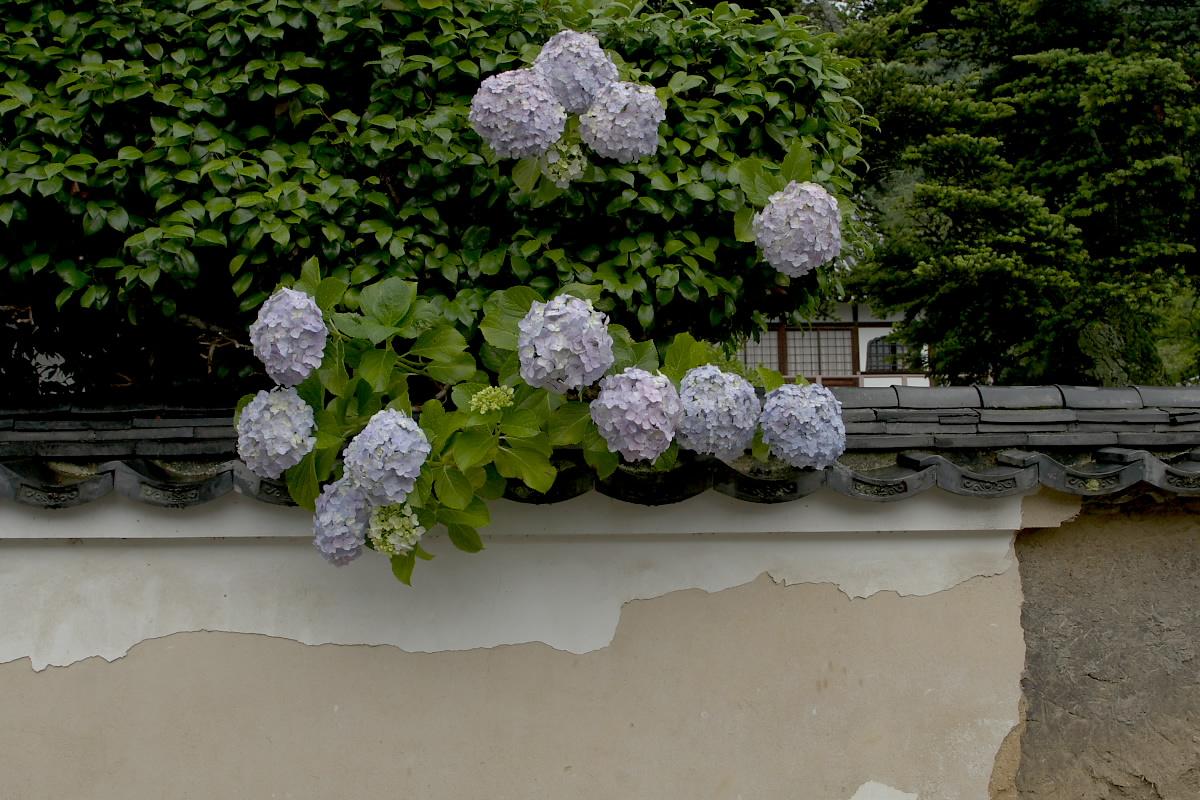 奈良 矢田寺 <紫陽花> 雨 5_f0021869_1953353.jpg