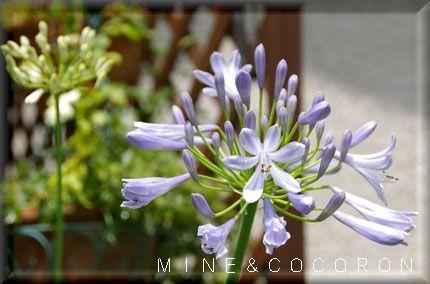 梅雨の頃に咲く花_a0053987_20293066.jpg
