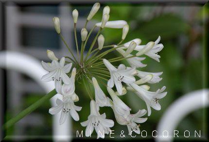梅雨の頃に咲く花_a0053987_20303799.jpg