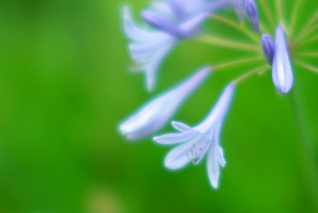 紫君子蘭_f0018464_17332283.jpg
