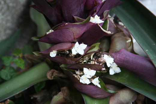 ツユクサ科(Commelinaceae)_d0096455_12554924.jpg