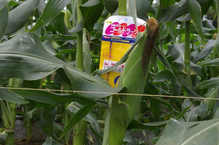 下総台地の実家の畑で極上のトウモロコシあさどり!(7・6)_c0014967_13493540.jpg