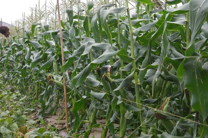 下総台地の実家の畑で極上のトウモロコシあさどり!(7・6)_c0014967_13495298.jpg