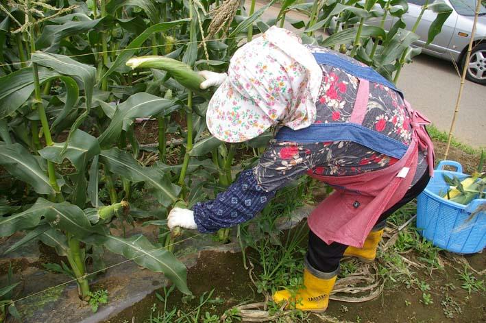 下総台地の実家の畑で極上のトウモロコシあさどり!(7・6)_c0014967_13501398.jpg