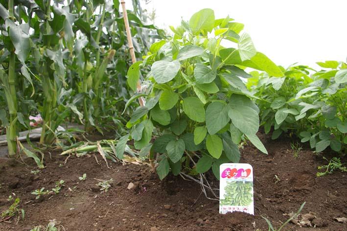 下総台地の実家の畑で極上のトウモロコシあさどり!(7・6)_c0014967_13531825.jpg
