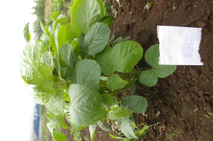 下総台地の実家の畑で極上のトウモロコシあさどり!(7・6)_c0014967_13535033.jpg