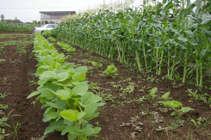 下総台地の実家の畑で極上のトウモロコシあさどり!(7・6)_c0014967_13541769.jpg