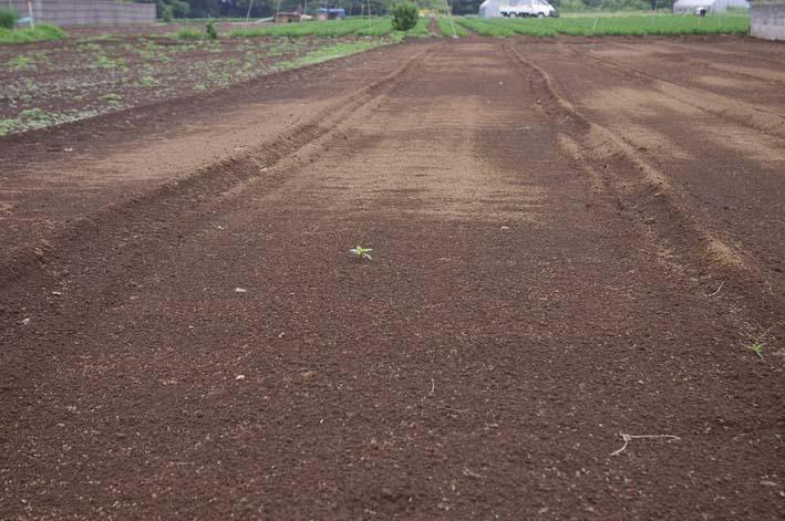 下総台地の実家の畑で極上のトウモロコシあさどり!(7・6)_c0014967_13544931.jpg