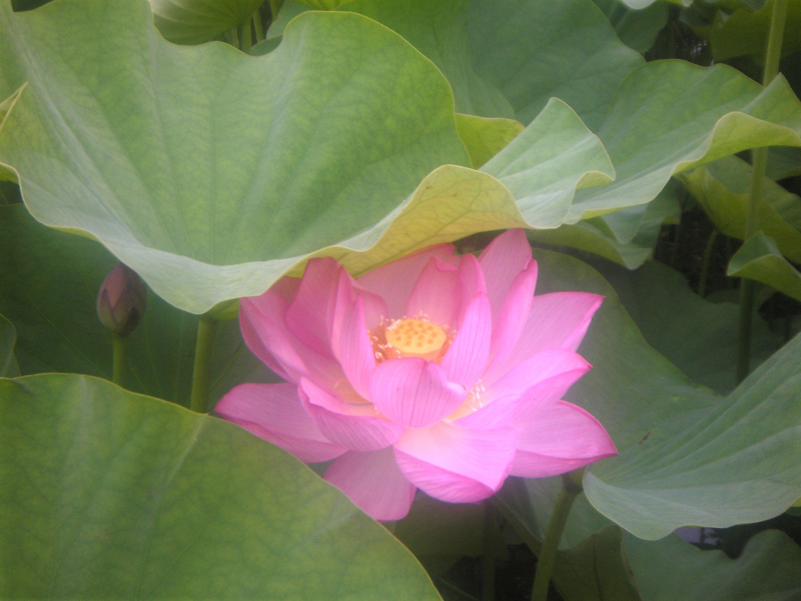 蓮が咲いたよ_b0080104_1822820.jpg