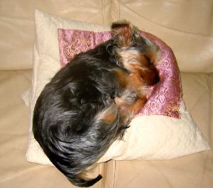 小さめのクッションの上に丸まるように寝ているラッキー。毛並みがまだ子犬の毛並みです。この頃からちゃんと枕やクッションの上で寝るのが気持ちよいと肌で覚えたようですね。