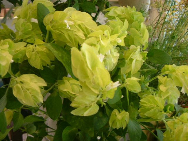 オークリーフ(水色の大きな紫陽花)_f0049672_12115271.jpg