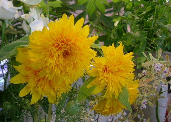 オークリーフ(水色の大きな紫陽花)_f0049672_12125932.jpg