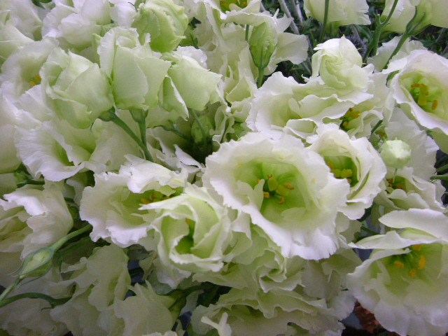 オークリーフ(水色の大きな紫陽花)_f0049672_1214842.jpg
