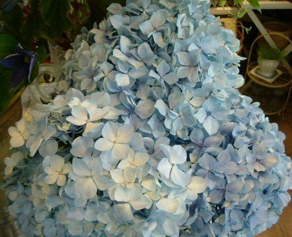 オークリーフ(水色の大きな紫陽花)_f0049672_1275494.jpg
