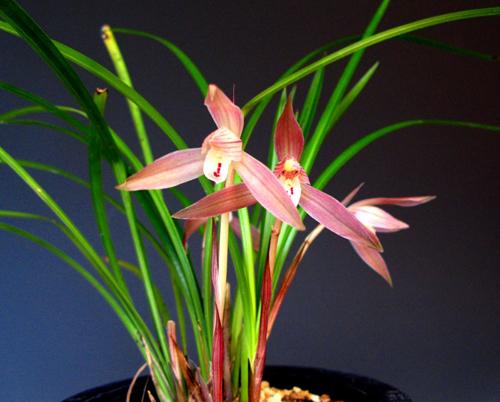 ◆中国蘭奥地蘭・朶朶香紅花             No.49_d0103457_2024135.jpg