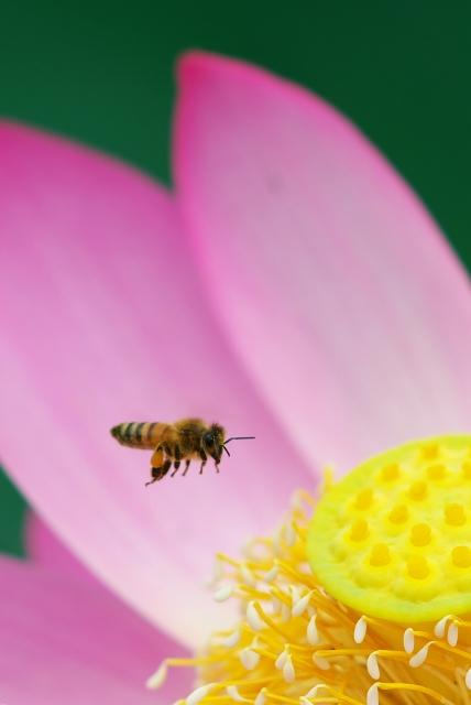 ハチスに蜂っす_f0018464_6362238.jpg