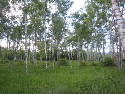 白樺の森_c0123773_21545465.jpg