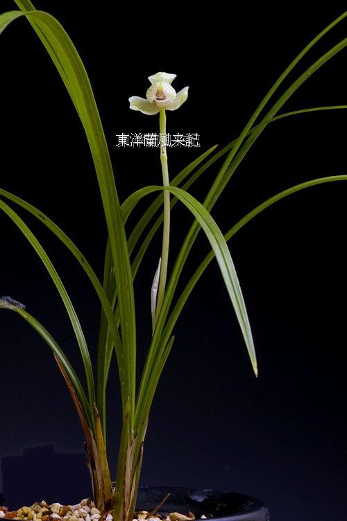 ◆(中国蘭奥地蘭)蓮弁蘭「点蒼梅、」         No.39_d0103457_181205.jpg
