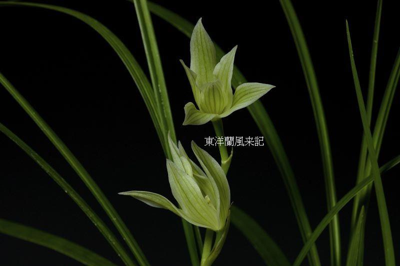 ◆中国蘭奥地蘭蓮弁蘭「馬龍峰」          No.26_d0103457_1823777.jpg