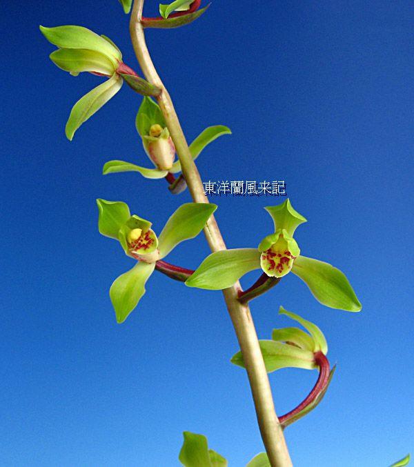 ◆中国蘭・九華・荷花弁「鄭孝荷」(ていこうか)一茎九花    (No.91)_b0034163_17565238.jpg