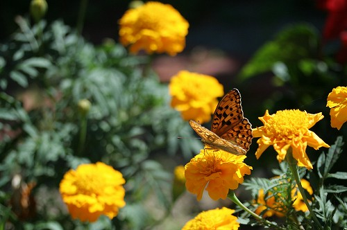 お庭に来た蝶_c0048117_23144524.jpg