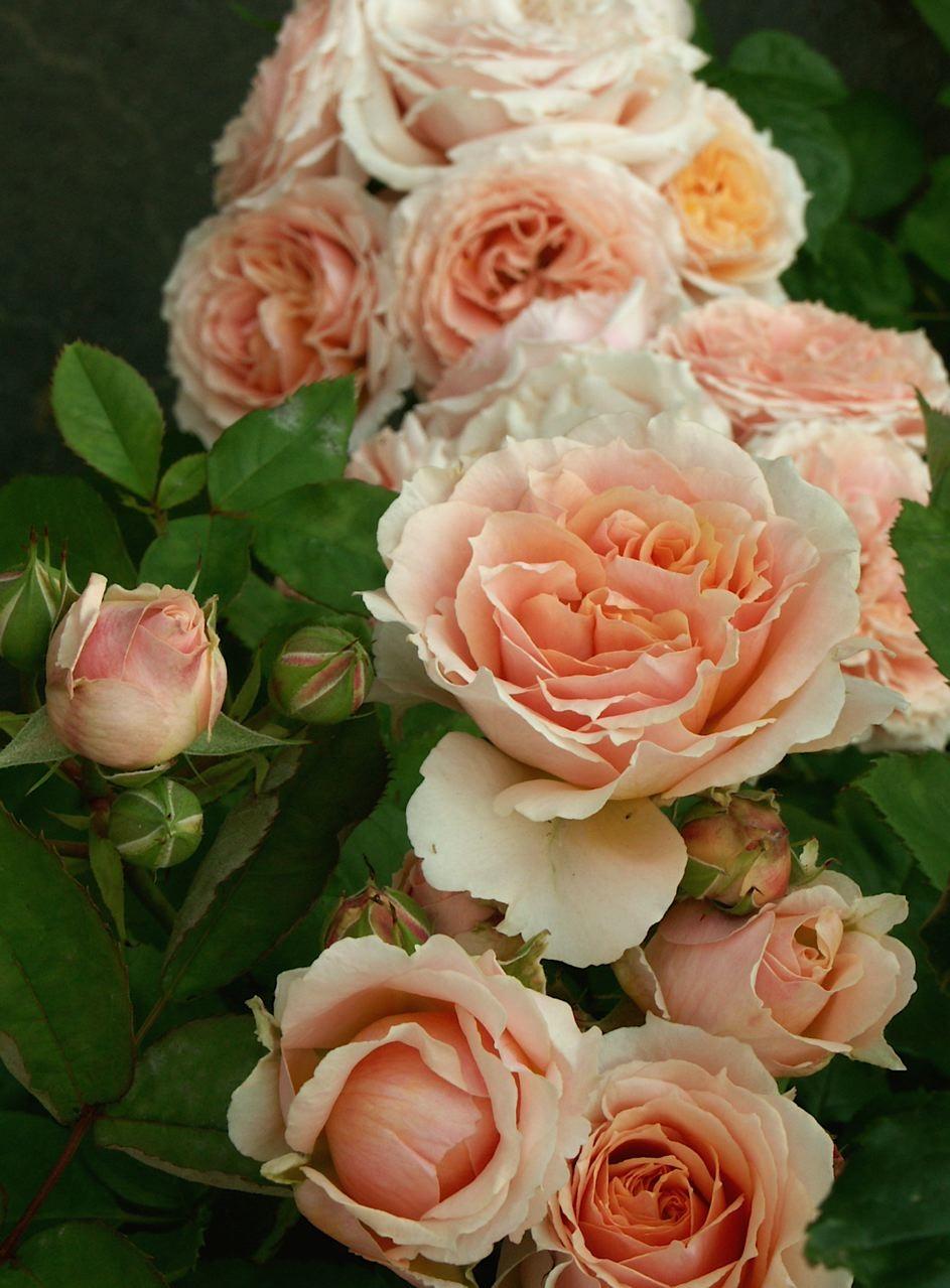 薔薇に求められるもう一つの条件。_e0044929_11505678.jpg