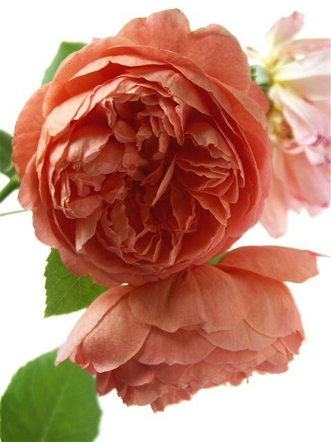 薔薇に求められるもう一つの条件。_e0044929_1151345.jpg