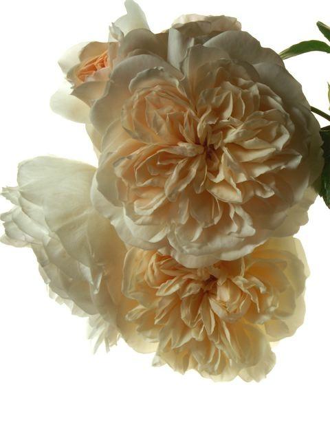 薔薇に求められるもう一つの条件。_e0044929_1152090.jpg