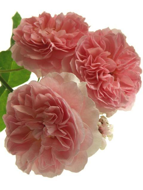 薔薇に求められるもう一つの条件。_e0044929_11523556.jpg